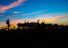 Silhouette of an afar tribe man with his cows at sunset, Afar region, Afambo, Ethiopia (Eric Lafforgue) Tags: africa travel blue sunset cloud color animal silhouette horizontal walking mammal outdoors photography cow cattle adult dusk group horns tribal longhorns drought nomad agriculture ethiopia tribe livestock herd onthemove oneperson herbivore horned hornofafrica nomadic eastafrica herder abyssinia tribesman greatriftvalley ruralscene herbivorous fulllenght onemanonly animalthemes 1people afarregion unrecognizableperson afambo ethio162782