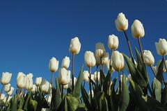 Witte tulpen tegen een blauwe lucht (Gerrit Veldman) Tags: flevoland noordoostpolder tulpen tulpenveld bollenveld tulips wit white olympus epl7 nederland netherlands