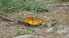 167. The Indian Fritillary Butterfly (Argynnis hyperbius), Near Gosalithan, Nepal (Jay Ramji's Travels) Tags: nepal lepidoptera nymphalidae argynnis brushfootedbutterfly argynnishyperbius indianfritillarybutterfly gosalithan