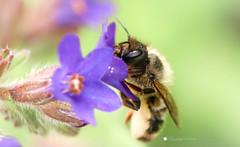 Biene (isabelle.kerstof) Tags: flower macro canon spring bee makro biene frhling makrofotografie canon70d