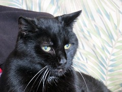 I'm Eighteen (knightbefore_99) Tags: black cute cat amazing furry feline chat pretty noir awesome kitty whiskers gato wise resting 18 eighteen