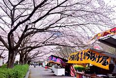 (Clonedbird  & Iris ) Tags:            sakura kyoto japan spring reflection river 2016 nikon d810     cherryblossom