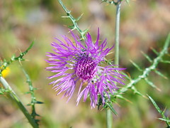 Thistle (rgrant_97) Tags: portugal nature natureza abril alentejo fronteira alterdocho