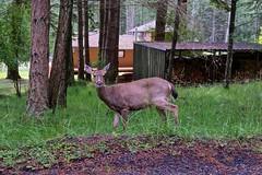 Doe (Whistler Whatever) Tags: female forest woods wildlife watching doe deer wa orcasisland sanjuanislands staring
