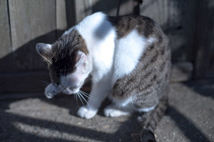Cat in a sunny spot (Yuta Ohashi LTX) Tags: cat nikon f14 voigtlander sl d750 fixed katze  58mm nokton  focal primelens 5814