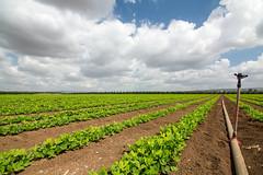 My peanuts field (Yovel Rodoy) Tags: nature field landscape israel nikon peanuts tokina agriculture 11mm agri 1116 d7100