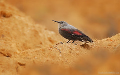 / Wallcreeper / Tichodroma muraria (bambusabird) Tags: nature birds canon thailand natural wildlife tropical oriental chiangrai openland wallcreeper bambusabird