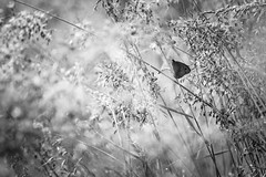 Une ombre (Mathieu Calvet) Tags: shadow macro nature butterfly weeds pentax bokeh ombre 300mm papillon 300 flou proxy k3 aveyron tarnetgaronne herbes midipyrnes da300f4