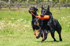 IMG_6334 (DanMarty92) Tags: friends dog dogs newfoundland toy play action running doberman germanshepherd dummy dobermann crossbreed
