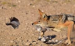 Jackal & Dove (Ian N. White) Tags: botswana canismesomelas capeturtledove streptopeliacapicola blackbackedjackal khutse