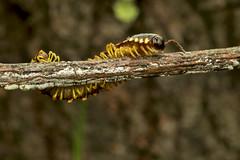 DSC_2643 (jacksl1) Tags: macro nikon insects millipede tokina100mmf28atxprod d7000