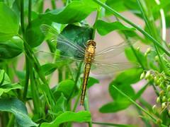 Groer Blaupfeil, weibl. - big blue arrow, female (Sophia-Fatima) Tags: pond mygarden gartenteich meingarten groserblaupfeil nikonflickraward bigbluearrow