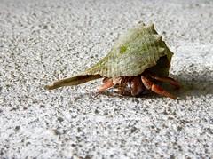 Hermit Crab (dawson_lauren) Tags: ocean beach nature animal hermitcrab marine wildlife shell crab hermit