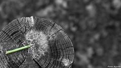 (Florian-Photography) Tags: sunset bw dog sun snow ny newyork macro nature canon studio eos 50mm photo blackwhite losangeles drops nice fantastic flickr sonnenuntergang bokeh miami awesome flash great natur drop 100mm dandelion hund dew hollywood daisy raindrops photostudio sw 24 100 28 tau f18 18 makro tamron panning 70 sonne canoneos f28 raindrop tropfen gänseblümchen 50mm18 lüneburg sennenhund pusteblume fotostudio regentropfen 2470mm grashalm schön 2470 hübsch gänseblume schwarzweis colourkey eos450d 450d bladeofgras sennhund