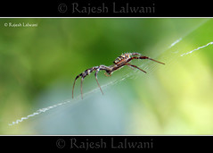 Signature Spider (Lalwani Rajesh) Tags: spider signature