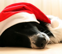 snoozy christmas beauty (Isabelle Ka.) Tags: santa christmas winter red dog cute beauty canon bordercollie snoozy