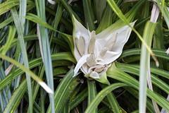 Kiekie (Freycinetia banksii) - male flower (Steve Attwood) Tags: newzealand plant flower nature canon vine wellington kiekie karorisanctuary freycinetiabanksii zealandia freycinetia