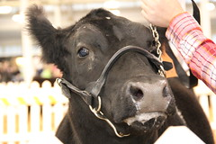 IMG_7397 (Brownfield Ag News) Tags: beef indianapolis congress hoosier