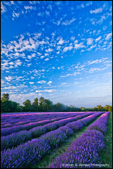 Golden hour at Mayfield (imran*) Tags: uk england purple farm lavender surrey gb mayfield unitedkingdon 2011 banstead organiclavender surreylife mayfieldlavenderfarm mayfieldlavendarfarm