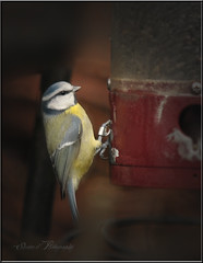 BLUE TIT (Shaun's Nature and Wildlife Images....) Tags: birds shaund