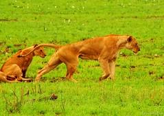7 ins (Cicciobread) Tags: africa cats nature animals landscape leoni lion natura lions felini savannah leone gatti animali savana naturalistic naturalistiche