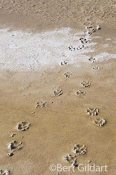 Curious coyotes leaves tracks