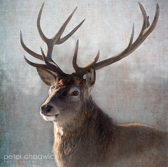 Stag (PeterChad) Tags: wild portrait male texture animal stag cheshire free deer planet