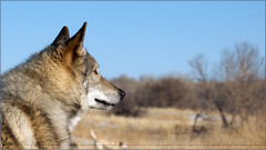 714: Watching a Coyote ( Eric Osmann) Tags: dogs colorado denver evergreen dogpark hybrid thumper offleash 2011 evergreencolorado chatfieldstatepark olympuse5 5002000mmf2835 ericosmann dec2011