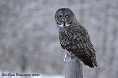 Great Grey on Grey DSC_4978 (Ron Kube Photography) Tags: canada bird nature birds fauna nikon greatgreyowl alberta owl ornithology owls strixnebulosa greatgrey southernalberta d300s globalbirdtrekkers ronaldok nikond300s ronkubephotography