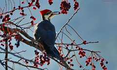 Male Pileated Woodpecker (Dryocopus pileatus) (Photography Through Tania's Eyes) Tags: red white canada black tree male bird nature animal fauna photography photo bill wings flora woodpecker nikon photographer berries bc image britishcolumbia okanagan wildlife branches feathers photograph dryocopuspileatus okanaganvalley pileatedwoodpecker pincherry peachland copyrightimage malepileatedwoodpecker hardyfallsregionalpark taniasimpson