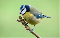 Blue tit (Margaret S.S) Tags: blue male bird scotland nikon tit perch bluetit lochwinnoch margaretssweeny