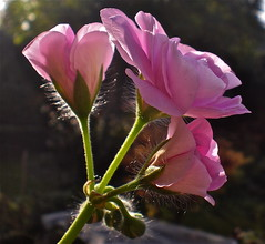 On a sunny day . (Fijgje) Tags: flower niceshot bloem pelargonium abigfave olympusfe280 fijgje dec2011