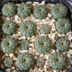 Frailea cataphracta tuyensis AA12 (Klavdiy Kispoev) Tags: frailea