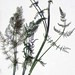 """Foeniculum vulgare ssp. piperitum (Ucria) Coutinho, Apiaceae • <a style=""""font-size:0.8em;"""" href=""""http://www.flickr.com/photos/62152544@N00/6596731399/"""" target=""""_blank"""">View on Flickr</a>"""