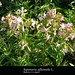 """Saponaria officinalis L., Caryophyllaceae • <a style=""""font-size:0.8em;"""" href=""""http://www.flickr.com/photos/62152544@N00/6596743851/"""" target=""""_blank"""">View on Flickr</a>"""
