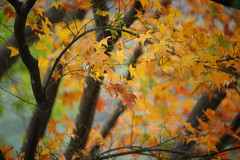 (ddsnet) Tags: plant sony taiwan autumnleaves   taoyuan autumnal 900      leaves reservoir autumn reservoir 900 shihmanreservoir  900 shihman shihman