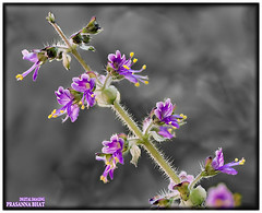 Tulasi (Prasanna BA) Tags: canon karnataka phography adobecameraraw rebelxti canoneos400d photoshopcs5