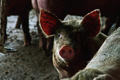 Mr. Bacon (Edi Eco) Tags: food nature animal canon pig bacon eyes farm comida rosa ears olhos curioso dirt 7d 28135mm nariz fazenda sujo porco orelha suino porquinho rosado ef28135mmf3556isusm