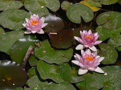 l'intruso... (quercus cerris) Tags: verde estate agosto fiori colori sicilia fz30 stagno ninfee donnafugata