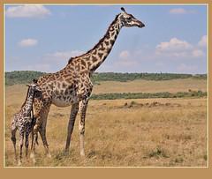 Me and Ma! (Rainbirder) Tags: masaimara giraffacamelopardalistippelskirchi giraffacamelopardalis masaigiraffe rainbirder