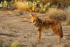 Coyote in the Desert (DSG_9407) (masinka) Tags: coyote light sunset wild arizona cactus southwest nature animal nationalpark unitedstates desert tucson wildlife az southern pricklypear saguaronationalpark sonorandesert warmlight americansouthwest 2011 inthewild