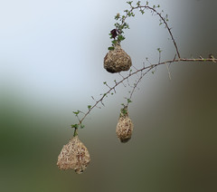 Nesten van wevervogels (nests of weaver birds) (megegj)) Tags: birds nest vogels namibia gert namibië