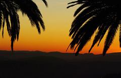 Palmes au soleil couchant. (jmsatto) Tags: palmiers soleilcouchant paysdegrasse