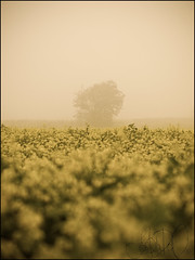 (Josephine Dahl) Tags: november flowers mist cold tree field silhouette misty fog denmark solitude foggy olympus mysterious dreamy lonely scandinavia zuiko fredericia lonelytree jylland rands 2011 e420 egum