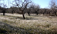 my kind of snow...... (Marlis1) Tags: white aragon wildflowers matarranya rauke matarraa almondtrees erucavesicaria marlis1 fuentespalda gettyimagesiberiaq3 senfrauke
