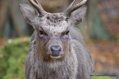 DSC00459 (Mark Coombes Photography) Tags: male woodland deer antlers dorset sika