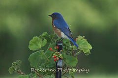 Bluebird in Spring (sgbrown56) Tags: red flower nature birds animals photography photo picture bloom bluebird geranium naturepicture photoofthedaynwf12