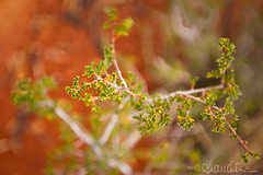 Bell Rock Trail - plant life 2 (by claudine) Tags: byclaudinecom familyphotographer sedona arizona bellrocktrail hiking trail plant red leaves green bokeh mood landscape rock brush tree