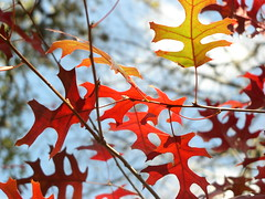 Autumnation (Jason A. Samfield) Tags: autumn light sky fallleaves cloud sunlight abstract tree fall nature beautiful leaves backlight clouds leaf texas afternoon dof bright branches january bluesky autumnleaves depthoffield twig oakleaf blueskies twigs treebranches depth redoak oakleaves autumnal clearsky afternoonlight clearskies autumnleaf fallleaf backlitleaves cumulusclouds cumuluscloud redoakleaf redoakleaves leavesabstract oakabstract autumnation backlitredoakleaves januaryautumn treebranchbranch