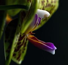 _DSC1051 (Martin David Photography) Tags: plant orchid flower colour macro window beautiful up nikon pretty close houseplant grow petal exotic adobe growing windowsill rare scent pollon steaman d7k d7000 martindavidphotography